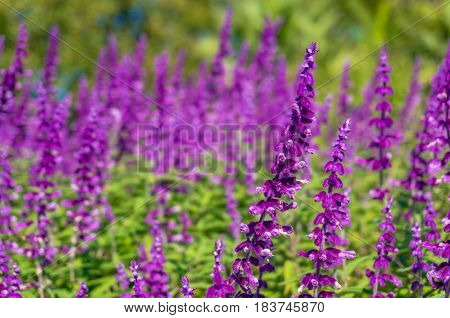 Beautiful Purple Flowers Nature Background