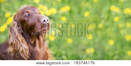 Web banner of a cute Irish Setter dog