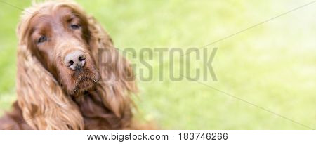 Web banner of a cute dog nose