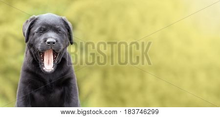 Web banner of a funny labrador retriever puppy as yawning