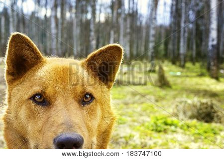 Portrait of a Beautiful happy brown dog smiling in the field Looks like bear look at the