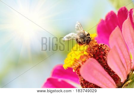 Bee looking for pollen on the flower in the field