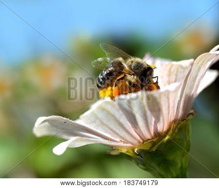 bee looking for pollen in flower .