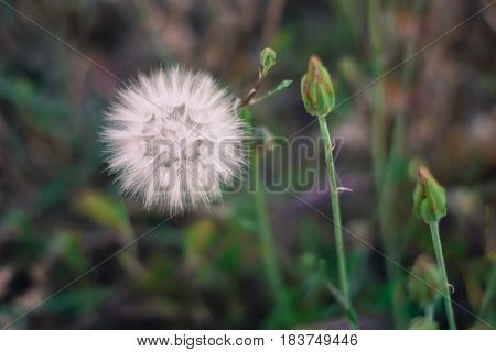 Fluffy dandelion in the meadow. Spring background. Dreamscape.