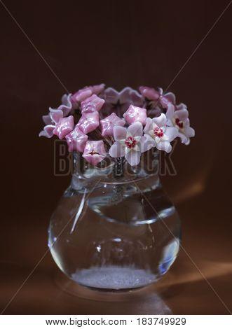 exotic Hoya flowers beauty bouquet macro shot