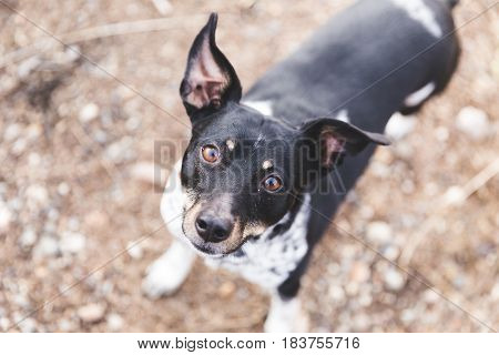 Black white and brown terrier dog looking up with ears perked.