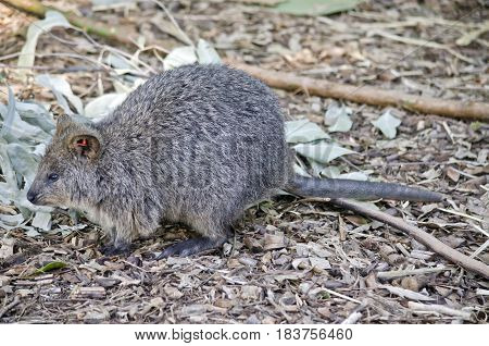 this is a close up of a quokka with a tag for identiforcation in his ear