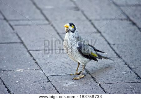 the noisy miner is walking on paving stones