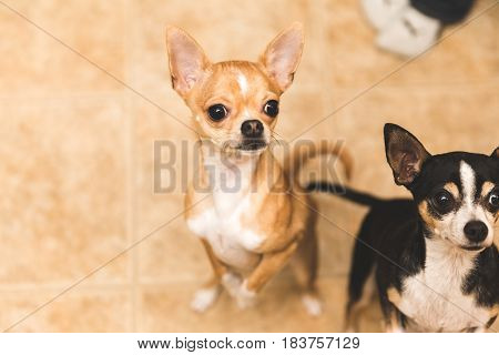 Chihuahuas Looking Excited