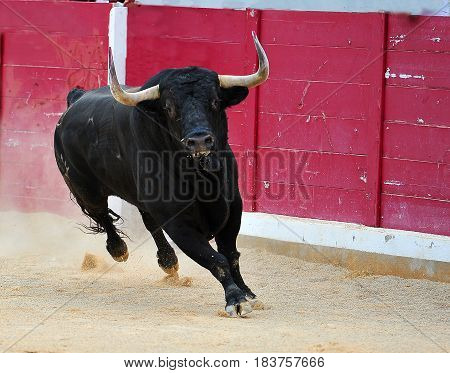 bull in spanish bullring with big horns