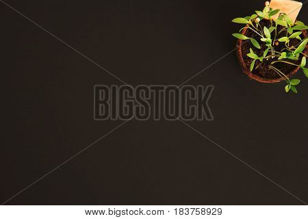 Peat pots of seedlings on a black background. THE STYLISH WOODEN PLANT LABELS. With copy space