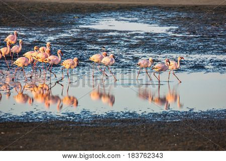 Flock of pink flamingos in Namibia. Magnificent birds forage in the Atlantic Ocean. Sunset