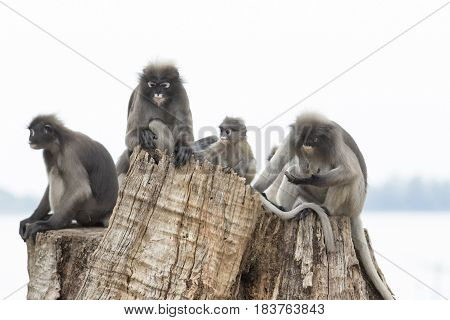 flock of dusky leaf monkey family relax sitting on tree stump