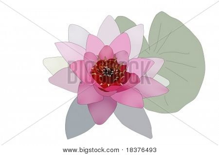 vector   Water lilly nymphaea by name Bory de Saint-Vincent