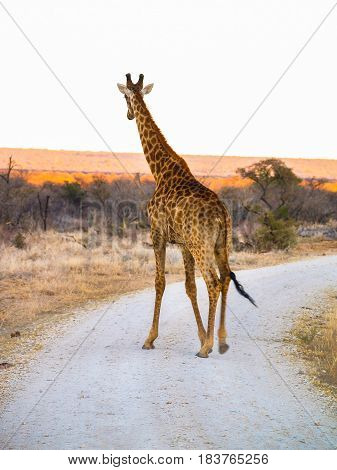 Tall giraffe on dirt road with South African defocused landscape behind and white sky above.