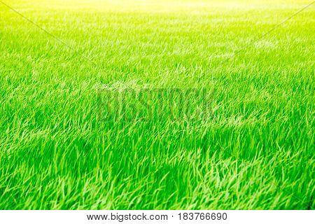 Windy Summer Green Grass Rice Field With Sunshine Bright Light