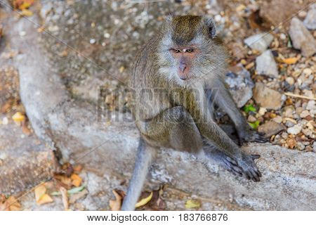Closeup Thailand Asian monkey long tail at Krabi.