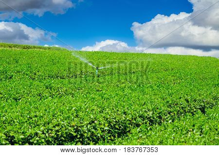 Tea Plant Agriculture Industry In Thailand Chiangrai Mountain Hill.