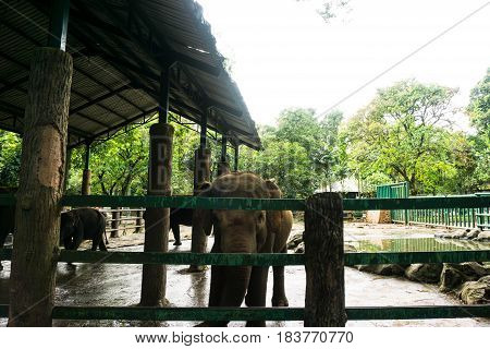 big elephants in the cage with pond surrounding by rocks photo taken in ragunan zoo jakarta indonesia java