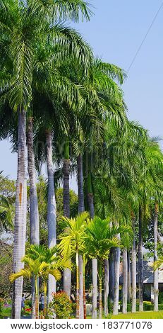 Long row of tall palm trees with long green frons.