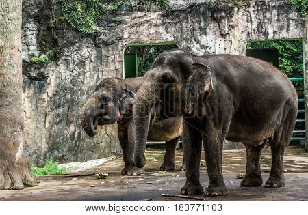 elephant and banana on the floor in the cage photo taken in Ragunan zoo Jakarta Indonesia java