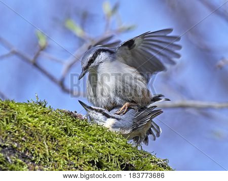 Eurasian nuthatches mating on a branch in their habitat