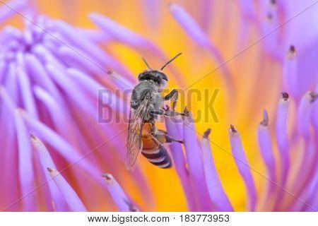 Bees On Lotus