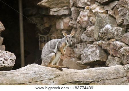 the yellow footed rock wallaby is in a cave