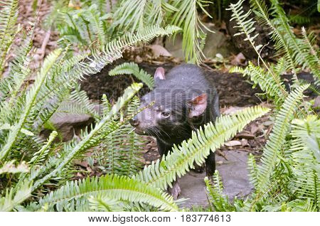 The Tasmanian devil is staring looking for food