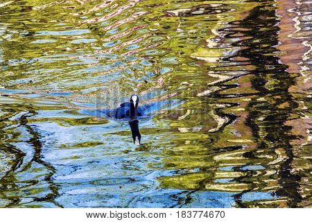 European Coot Duck Reflection Patterns Designs Singel Canal Amsterdam Holland Netherlands. Canals in Amsterdam create beautiful abstract reflections.