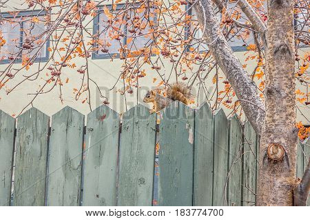 Squirrel on a weathered green fence by a mountain ash tree in autumn