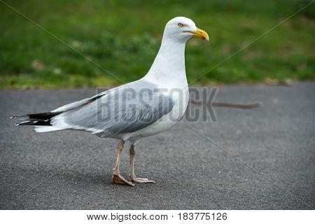 Seagull bird walking on asphalt road outdoors