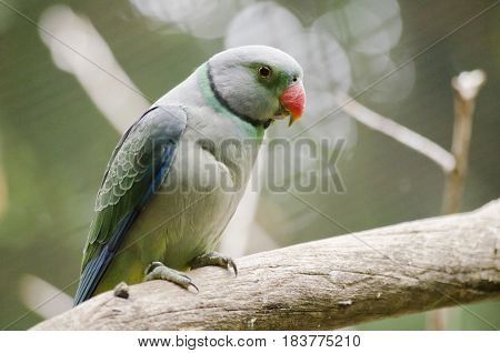 the malabar parakeet is resting on a limb of a tree