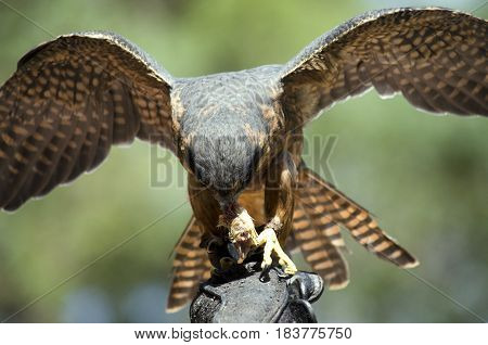this is a close up of a hobby falcon eating