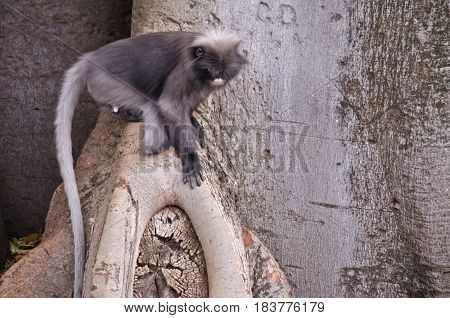 the dusky leaf monkey is resting in a tree