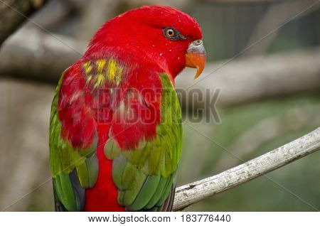 this is a close up of a chattering lory back view