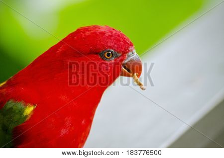 this is a close up of a chattering lory