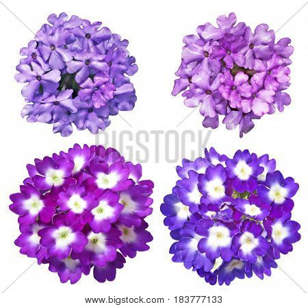 Set of Purple blue  Verbena Flower isolated on white background