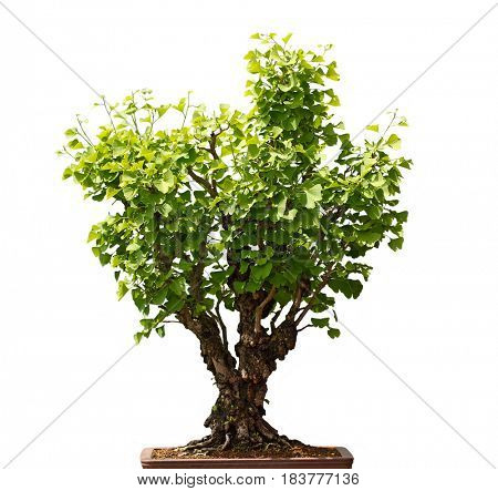 Maidenhair Ginkgo Biloba Bonsai Tree isolated on white background