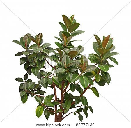 Little Gem Southern Magnolia tree with dark green leave and rusty brown on the underside isolated on white background