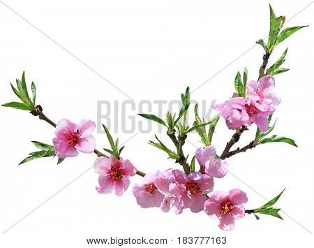 Peach flower blooming isolated on white background