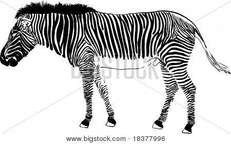 vector - zebra isolated on background