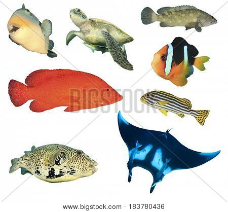 Collection marine creatures on white. Reef fish and turtle isolated. Triggerfish, Green Sea Turtle, grouper fish, clownfish and manta ray.