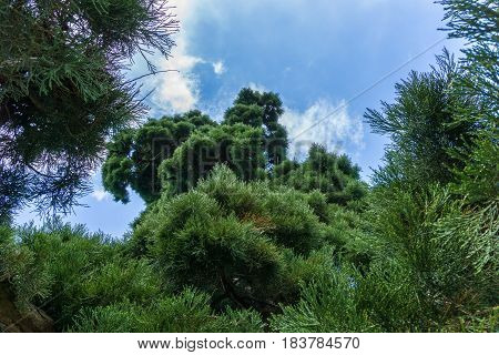 Close-up of green Needles of a Tree. Fir Trees. Pine Trees. Trees in Spring.