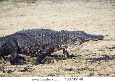 Large Alligator walking in drying up swamp