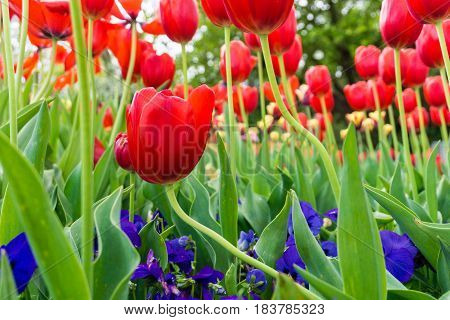 Close-up of Tulips. Garden Fowers. Beautiful Red Tulips (Tulipa gesneriana) in Spring. Spring Flowers in the Morning. Field full of Yellow Tulips