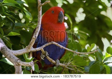 the eclectus parrot is resting in a tree