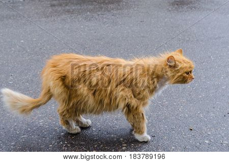 A cat with a red fur walking along the street, hurrying about