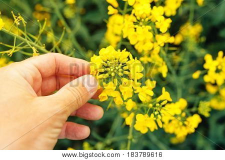 Farmer examining rapeseed blooming plants male hand of an agronomist in cultivated oilseed rape field
