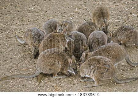 this is a mob of parma wallabies feeding